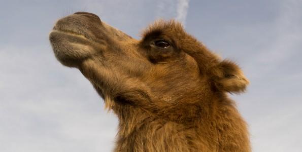 Leche de camella