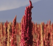 Quinua orgánica