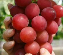 ¿Cómo son las uvas más caras del mundo?