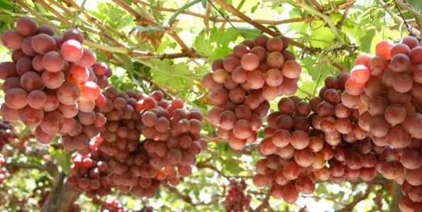 En 2014 se disparó la exportación de uvas